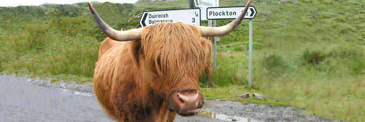 Highland cow on the road to Plockton