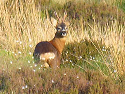 Roe deer are present in the local woods