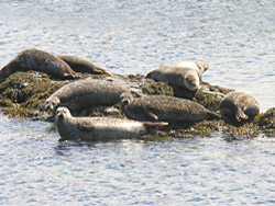 Seals basking on a rock