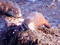 Otters are often spotted along the coast